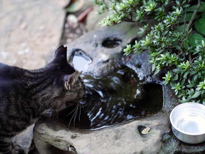 水を飲んでるキジトラ猫
