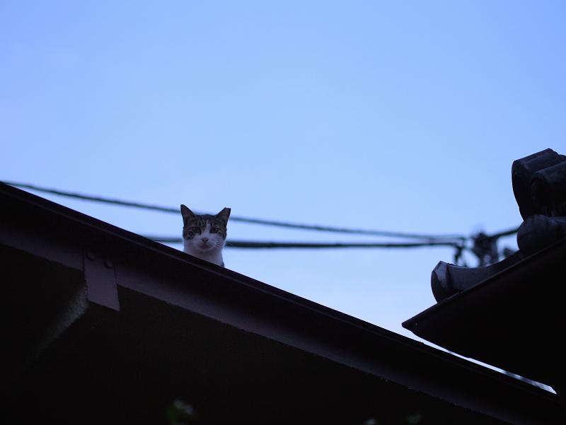 夕暮れ青空と猫1