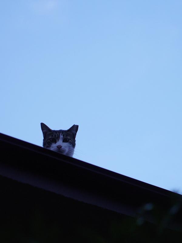 夕暮れ青空と猫2