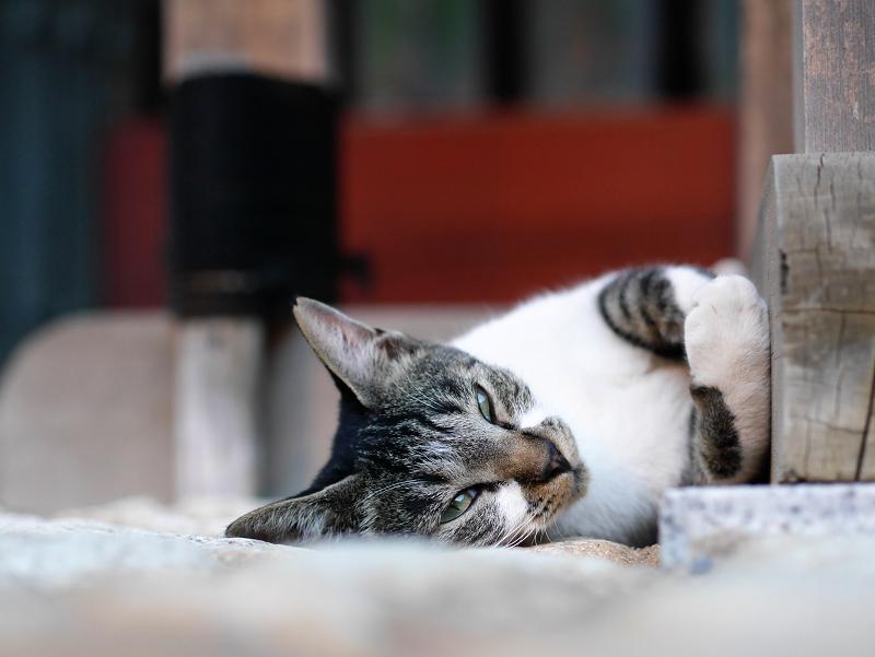 門扉で寝ながら見てる猫1