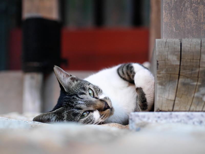 門扉で寝ながら見てる猫2