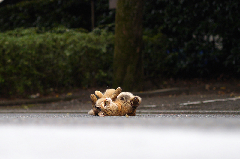 参道で転がってる猫