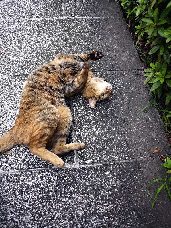 足下の参道で転がってる猫