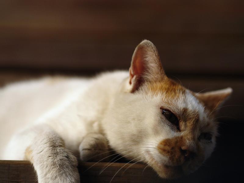 気怠そうな白茶猫