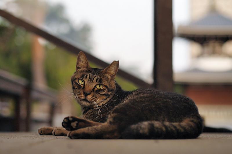 境内階段の猫1