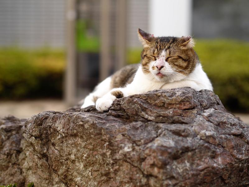 岩の上の猫1