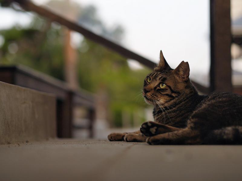 境内階段の猫2