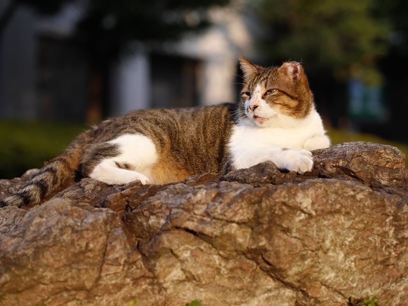 岩の上の夕陽猫