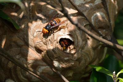 スズメバチと巣