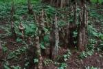 6.樹木:落羽松-15D 1509q