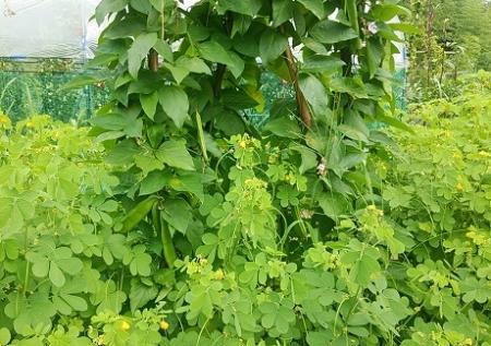 えびす草・刀豆 花