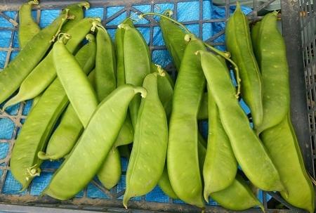 なた豆 収穫