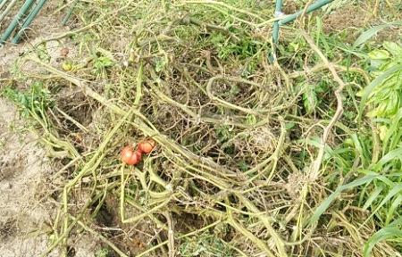 トマト残渣