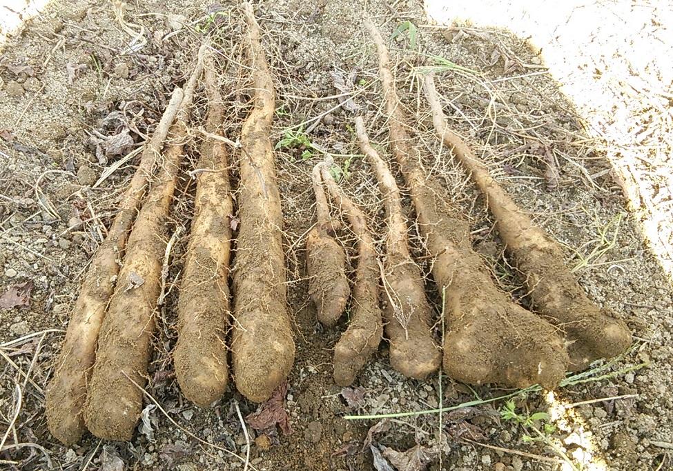 山芋 来年の種芋