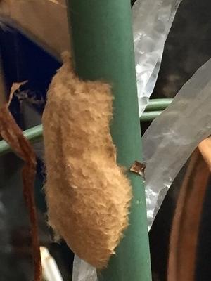 蜘蛛の卵のう