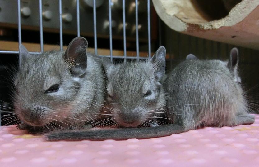 デグーの赤ちゃん3匹