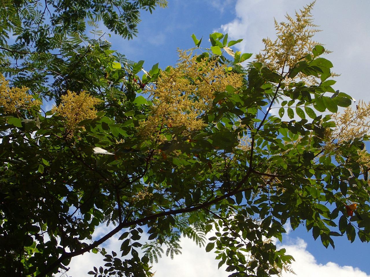 白膠木(ぬるで)