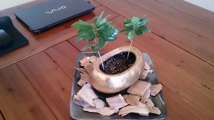 コーヒーの木③
