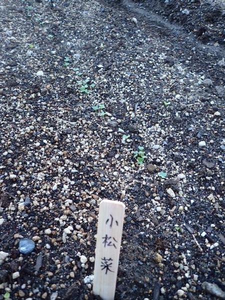 小松菜発芽