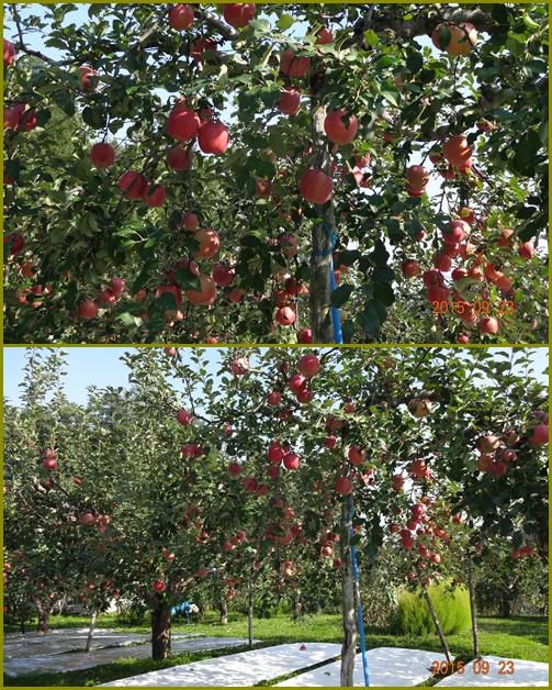 014 リンゴ畑