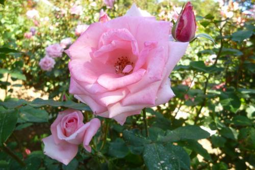 県 緑花センター 薔薇