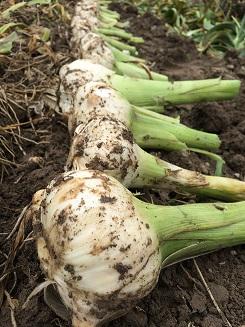 garlic20151.jpg