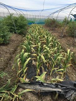 garlic20152.jpg