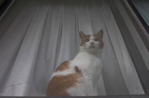 ブログNo.366(網戸猫)10