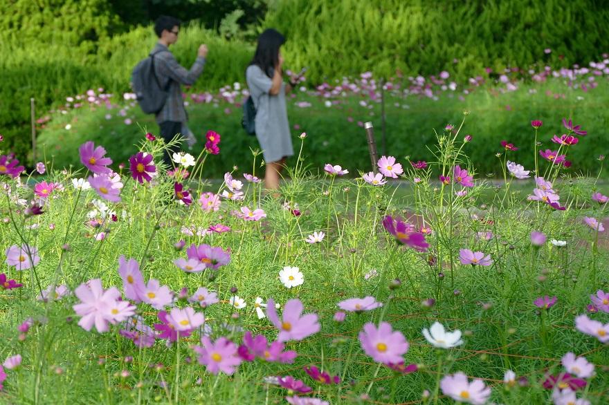 京都府立植物園のコスモス、秋バラ (4)