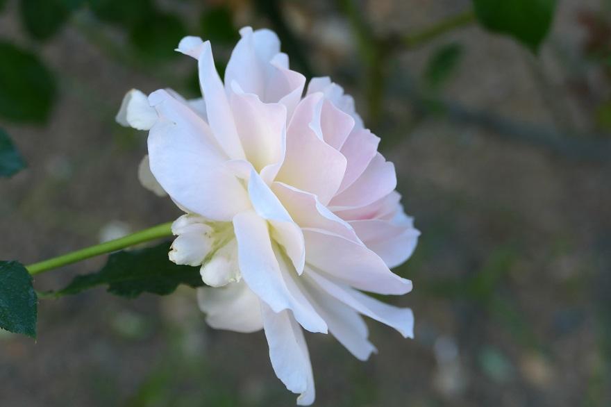 京都府立植物園のコスモス、秋バラ (8)