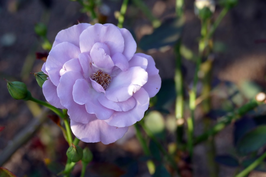 京都府立植物園のコスモス、秋バラ (11)