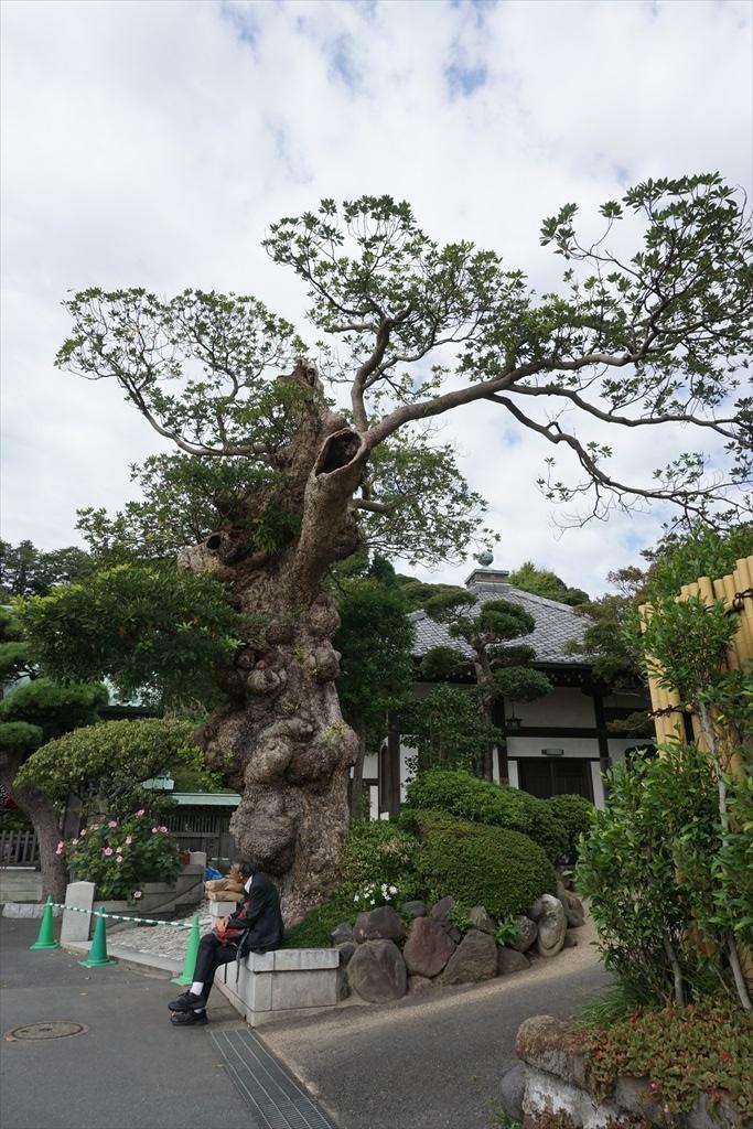 山門前のタブの木
