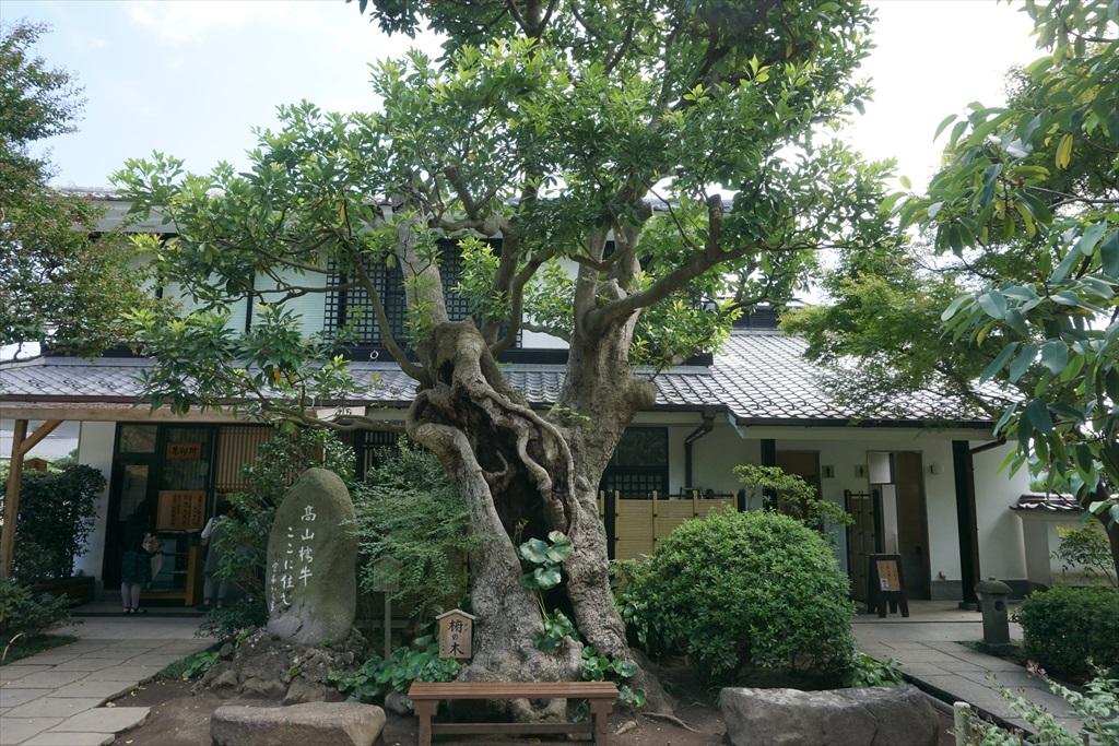 入口付近にあるタブの木