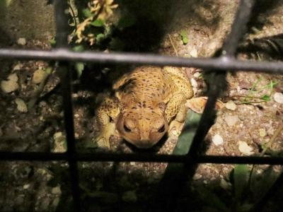 蛙肥ゆる秋 (1)