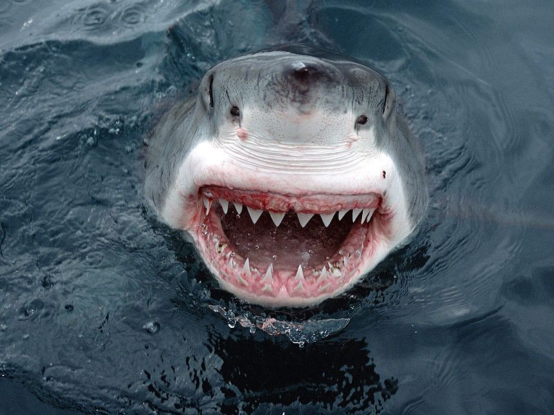 JawsShark.jpg