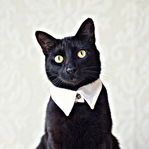 ネコ用白シャツ_襟