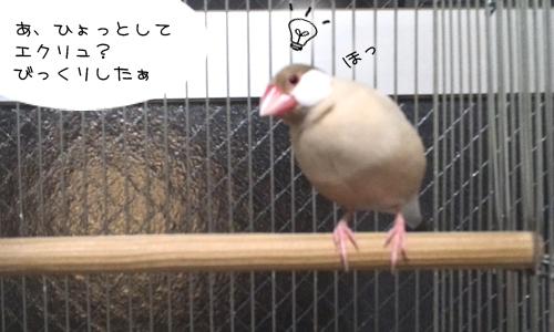 見てしまった文鳥たち_2