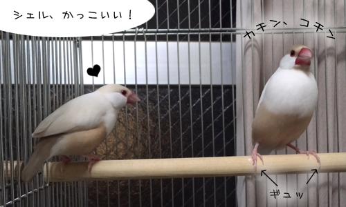 見てしまった文鳥たち_4