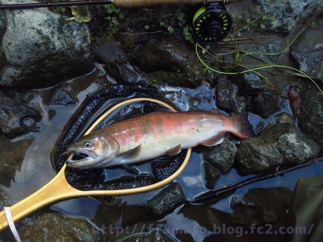 ざわ 釣り場 うらたん 渓流 フライフィッシングライフ:うらたんざわ渓流釣り場釣行!