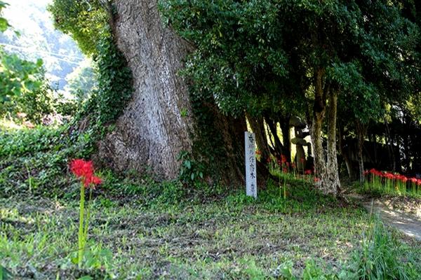 大楠と彼岸花