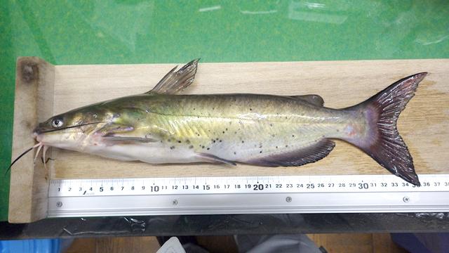 釣獲アメリカナマ コピー