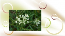 川の白花つぼみ