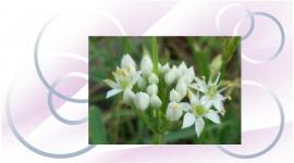 川の白花開花