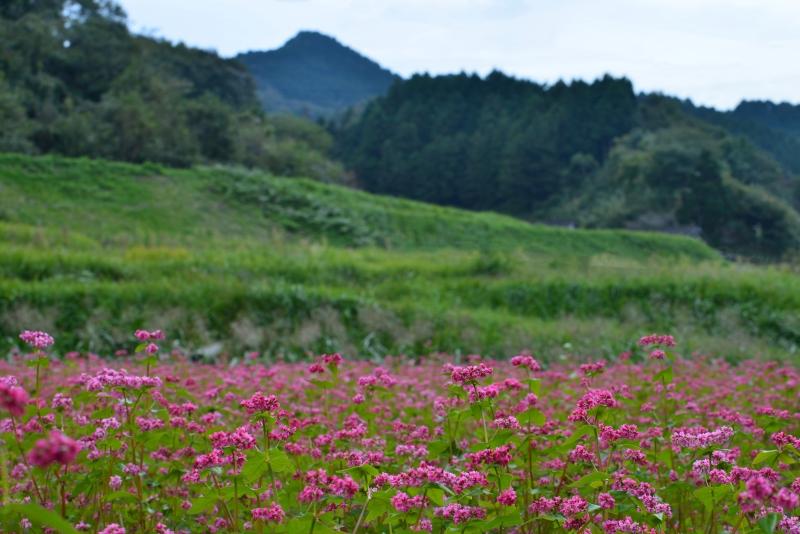 「赤い蕎麦花咲く里山」  (香川県高松市菅沢)