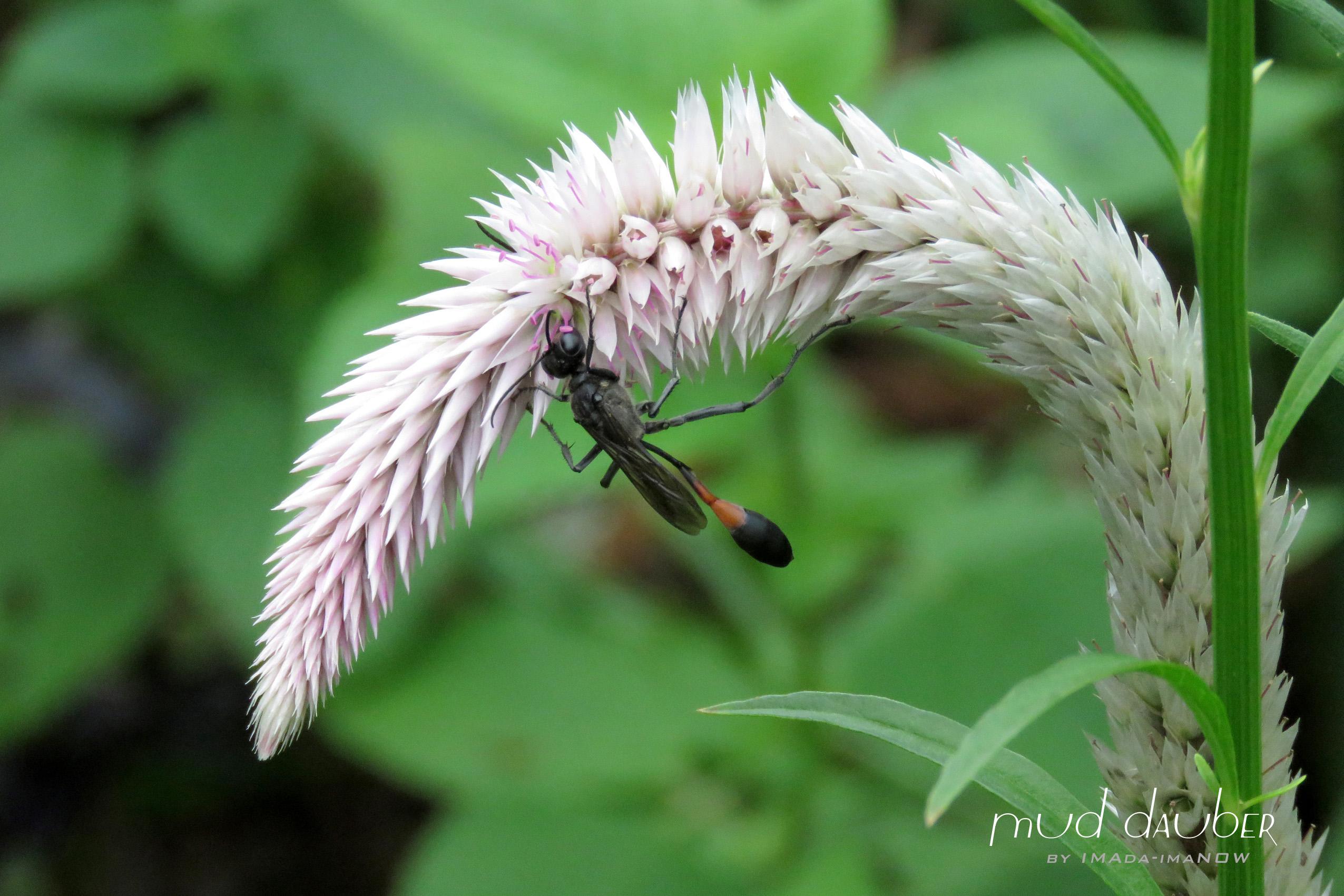 IMG_6487c ジガバチ