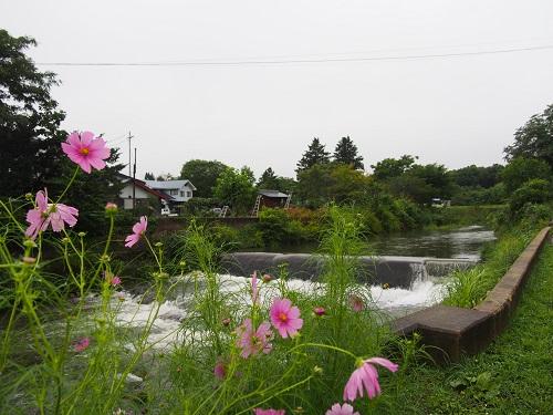 kosumosu215830.jpg