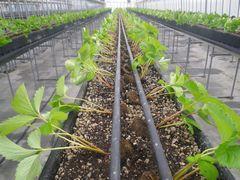 [写真]本圃ハウスの高設ベッドに定植したばかりの苗の様子