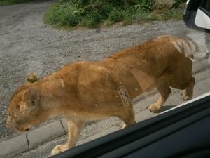 真横をライオン