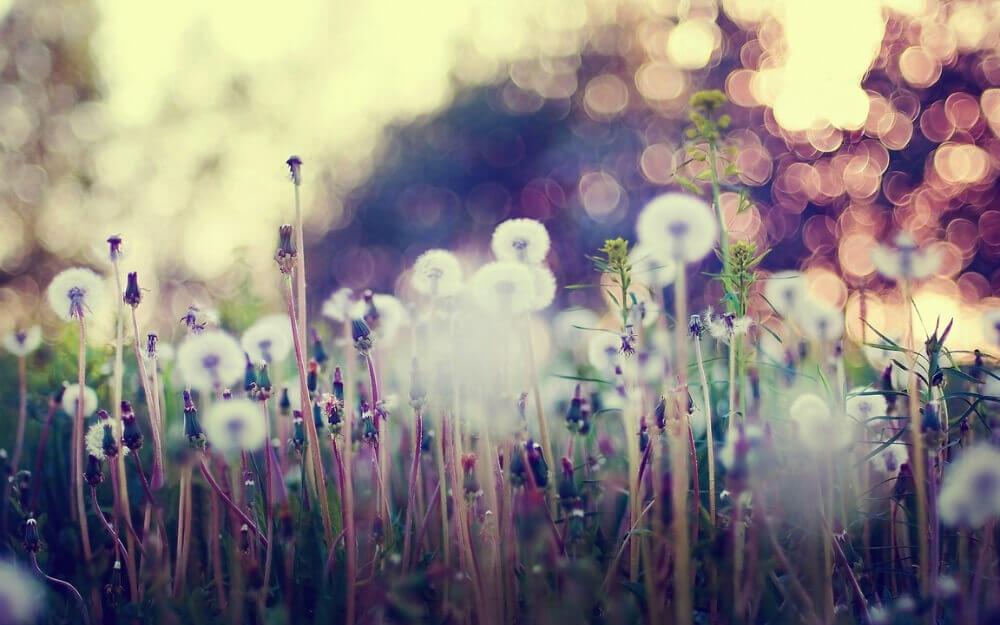 dandelions-depth-of-field-1152x720-wallpaper.jpg